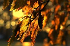 autumn (joy.jordan) Tags: leaves autumn color texture light sunset tree nature bokeh