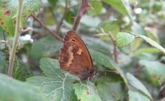 Hedge Brown Butterfly aka Gatekeeper, New Forest NP, Hampshire, UK (east med wanderer) Tags: butterfly bramble hedgebrown hampshire newforestnationalpark nationalpark pyroniatithonus