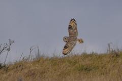 Short eared owl (Terry Angus) Tags: owl shortearedowl short eared