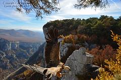 Vautour fauve Grand-Angle 1 (gil streichert) Tags: avoltoio buitre vulture rapace canyon du verdon alpes de haute provence grand angle affut