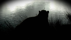 Polar Silhouette (Nissan) (LadyRaptor) Tags: yorkshirewildlifepark yorkshire wildlife park doncaster ywp nature outdoors autumn winter sun water lake ripples reflection grass silhouette happy content relaxed relaxing relaxation sitting resting rest laying sleepy tired cute animal animals predator carnivore caniformia ursidae polarbear polarbears male polar bear bears ursusmaritimus projectpolar nissan