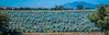 2017 - Mexico - Tequila - Blue Agave Field (Ted's photos - For Me & You) Tags: 2017 cropped mexico nikon nikond750 nikonfx tedmcgrath tedsphotos tedsphotosmexico tequila vignetting tequilajalisco tequilapuebomágico unesco unescoworldheritagesite blueagave agave field agavefield wideangle widescreen outdoors plants