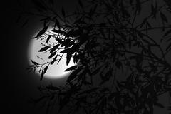 December Super Moon (Evoljo) Tags: moon supermoon sky leaves tree night winter nikon d500