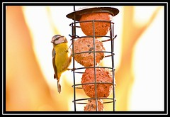 """Peckish Blue Tit..."" (NikonShutterBug1) Tags: nikond7100 tamron70300mm birds ornithology wildlife nature spe smartphotoeditor birdfeedingstation bokeh birdsfeeding bluetit 7dwf"