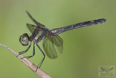 Micrathyria sp. ( BlezSP) Tags: micrathyria faunaforever peru libellulidae odonata neotropical