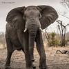 African Elephant (Loxodonta africana) (Hernan Linetzky Mc-Manus) Tags: savannah savana southafrica africa sudafrica animal safari natgeo ng wild camp manyeleti limpopo honeyguide linetzky big5 nikon nature mammal animals wildlifephotography pilanesberg nikonphotography photos wildanimals africannature naturaleza salvaje elephant elefante gigante paquidermo loxodonta bath waterhole