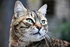 The Poser (Κώστας ex Tungmay) Tags: cat animal pet portrait dof deapthoffield