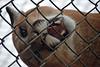 When I Met Russet (MTSOfan) Tags: russet cougar cub epz bigcat mountainlion puma panther pantamount rescue fence frustration