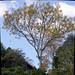 Tower tree (Brazilian Guapuruvu)