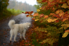 November (balu51) Tags: morgenspaziergang morgen kalt nass grau herbst laub blätter bunt hund kuvasz ungarischerhirtenhund morningwalk morning cold wet grey autumn leaves orange yellow dog white november 2017 copyrightbybalu51