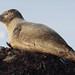 Common Seal (Alan Walkington) Tags: