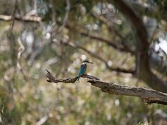 Sacred Kingfisher (James_Preece) Tags: sacredkingfisher alcedinidae todiramphussanctus m43 kingfisher leicadgvarioelmar100400mmf4063 panasoniclumixdcgh5 werribeeriverpark