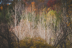 Birch Trees (A Great Capture) Tags: autumn fall parks park walk tree nature crother'swoods trees birch agreatcapture agc wwwagreatcapturecom adjm ash2276 ashleylduffus ald mobilejay jamesmitchell toronto on ontario canada canadian photographer northamerica torontoexplore automne herbst autunno 2017 explorethedonvalley donvalley superpark crotherswoods donvalleytrails changingoftheleaves