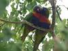 P1030880 (Ashlee Herald) Tags: lorikeets rainbowlorikeets bird nativebirds photography birdphotography