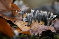 A little forest in the forest (tusenord) Tags: svampar fotosondag xylariahypoxylon fs171119 stubbhorn macro autumn höst fungi samling