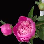 Stratford Ontario Canada  - Peony  -  Shakespearean  Garden Botanical  ~ Heritage thumbnail