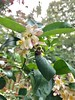 Xylocopa virginica (miagodb) Tags: meyer lemon tree improved image3 umd ecology enst360 semesterenrolledfa2017 xylocopa virginica carpenter bees pollination mutualistic relationship