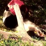 Panda TianTian thumbnail