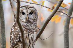 Seeing eye to eye (NicoleW0000) Tags: barredowl owl birdofprey wildlife outdoor photography ontario