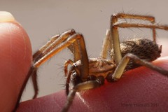 Spider on my fingertips (4069) (Yberle.Foto) Tags: spider fingertips macro gruselig angst angstvorspinnen