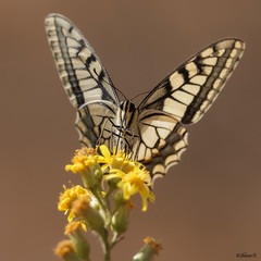 Papilio machaon (Dave 5533) Tags: papiliomachaon butterfly nature macro flower wild outdoor animal papilionidae israel swallowtail butterflyinisrael canoneos1dx ef300mmf28lisiiusm canonextender2xiii naturephotography wildlife bugs ngc npc