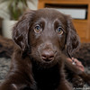 193A0218-2 (clemenshuijding) Tags: brown weeks 8 retriever puppy flatcoated