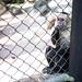 Whitefaced+capuchin+monkey