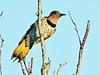 Northern Flicker female 04-20171119 (Kenneth Cole Schneider) Tags: florida miramar westmiramarwca
