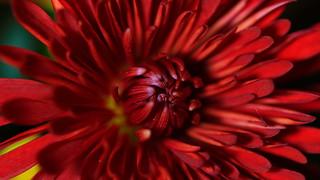 Macro of Chrysanthemum