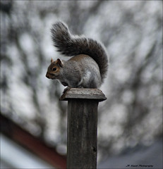 Sentry Duty (John Neziol) Tags: jrneziolphotography nature nikondslr nikon nikoncamera nikond80 naturallight portrait outdoor squirrel greysquirrel animal animalphotography closeup cute brantford bokeh garden interesting mammal wildlife