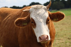 Olympic Queen Farm Red (excellentzebu1050) Tags: livestock dairycows farm cattle cow closeup animalportraits animal outdoor field coth5