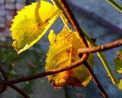 (claudine6677) Tags: herbst sonne blätter farben gelb gold autumn fall leaves colors sun yellow fallen