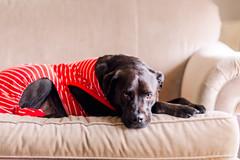 (Rebecca812) Tags: dog cute couch comfortable relaxation peaceful pajamas cozy striped red pitbull labradorretriever adorable pet home domestic lazy rebeccanelson rebecca812 petportrait pets animalthemes animals canon portrait
