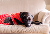 (Rebecca812) Tags: dog cute couch comfortable relaxation peaceful pajamas cozy striped red pitbull labradorretriever adorable pet home domestic lazy rebeccanelson rebecca812 petportrait pets animalthemes animals canon portrait