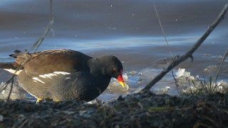 The Moorhen and the Ice