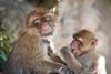 Mmmm Tasty (RoamingTogether) Tags: 70200vrii barbaryape barbarymacaque europe gibraltar macaque magot nikon nikon7020028 nikond700 rockofgibraltar