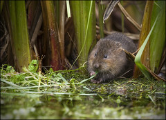 Water Vole (Craig 2112) Tags: water vole kent arvicolaamphibius rodent mammal river feeding wild