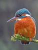 Kingfisher (oddie25) Tags: canon 600mmf4ii 1dx kingfisher kingfishers birds birdphotography bird birdonastick nature naturephotography wildlife wales wildlifephotography