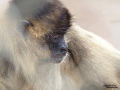 P1520105 (Christen Ann Photography) Tags: 2017 animals gibbon hawaii hawaii2017 honolulu honoluluzoo november2017 ohau usa zoo 840
