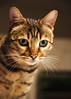 Stare (graemes83) Tags: pentax sigma bengal cat pet animal feline eyes stare