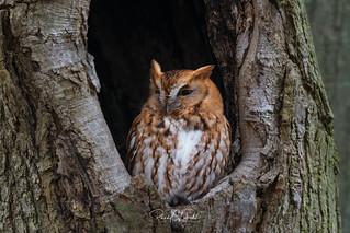 Eastern Screech Owls of NJ | 2017 - 6