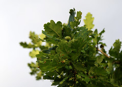 oak (helena.e) Tags: helenae ek ekollon träd tree himmel sky grön green oak quercusalba acorn