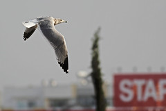 Geelpootmeeuw - Larus michahellis - Yellow-legged Gull (merijnloeve) Tags: amerikaanse zilvermeeuw larus smithsonianus american herring gull portugal parchal pt algarve faro portimao