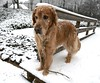 My Photography Assistant, Jake (tvdflickr) Tags: dog canine snow golden retriever goldenretriever jake pet companion leash bridge d850 nikon nikond850 fx 2485mm photobytomdriggers thomasdriggersphotography