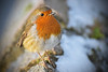 Christmas Robin 2017. (Cycling Saint) Tags: birds nikond750nikkor70300f456vr aylestonemeadows canalsideviews snow leicester