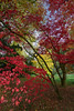 Autumn Fireworks... (Mayur Shivz - Out and about photography) Tags: tress leaves fall autumn foliage england uk red yellow branch photography november 2017 beautiful nature magical serenity arboretum westonbirt tetbury gloucestershire sonyalpha zeiss sony a7 maple glade japanese season