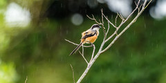 20171124-EM124756 (shutterblades) Tags: birds longtailedshrike olympusem1mkii olympusmzuiko300mmf4pro14tc seletaraerospacehub seletarwestlink