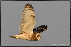 One more short-eared owl... (RKop) Tags: d500 nikkor600f4evr handheld raphaelkopanphotography pickawaycounty ohio nikon shortearedowl