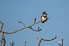 Kingfisher (wyrickodiak_9) Tags: bird kodiak alaska kingfisher