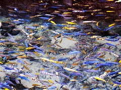 Fish Abstract (rachael242) Tags: fish abstract colours colour animal water ocean liquid nature sea tropical